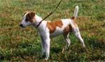 JackRussel Dog Breeding and Sales